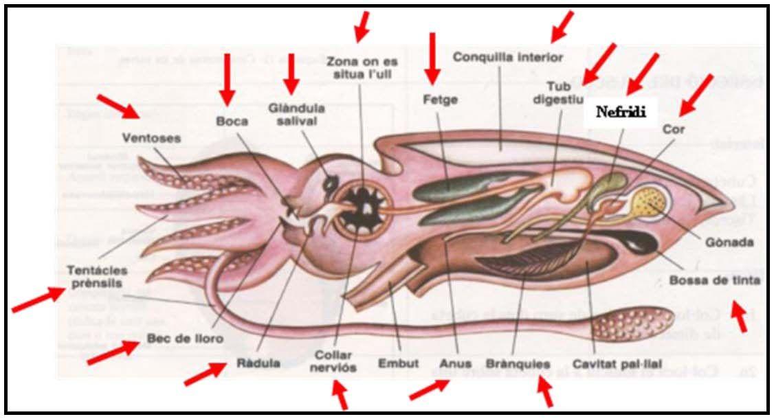 anatomia sepia - Buscar con Google | Lenguas, tentáculos | Pinterest ...
