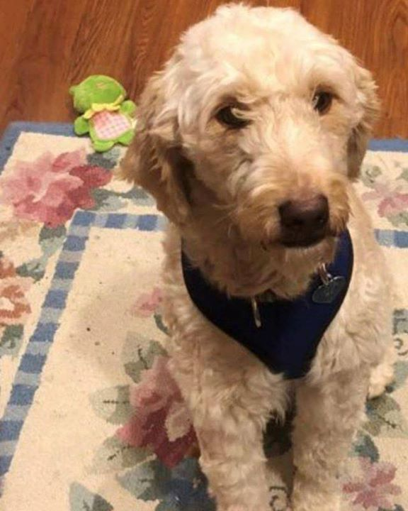 Lost Dog White Bear Lake GoldenDoodle Female Date Lost