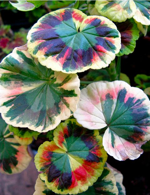 Multi-colored, variegated leaf pelargonium. also known as a geranium