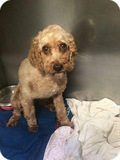 Oak Ridge Nj Cockapoo Mix Meet Darcy A Dog For Adoption Dog Adoption Cockapoo Pet Adoption
