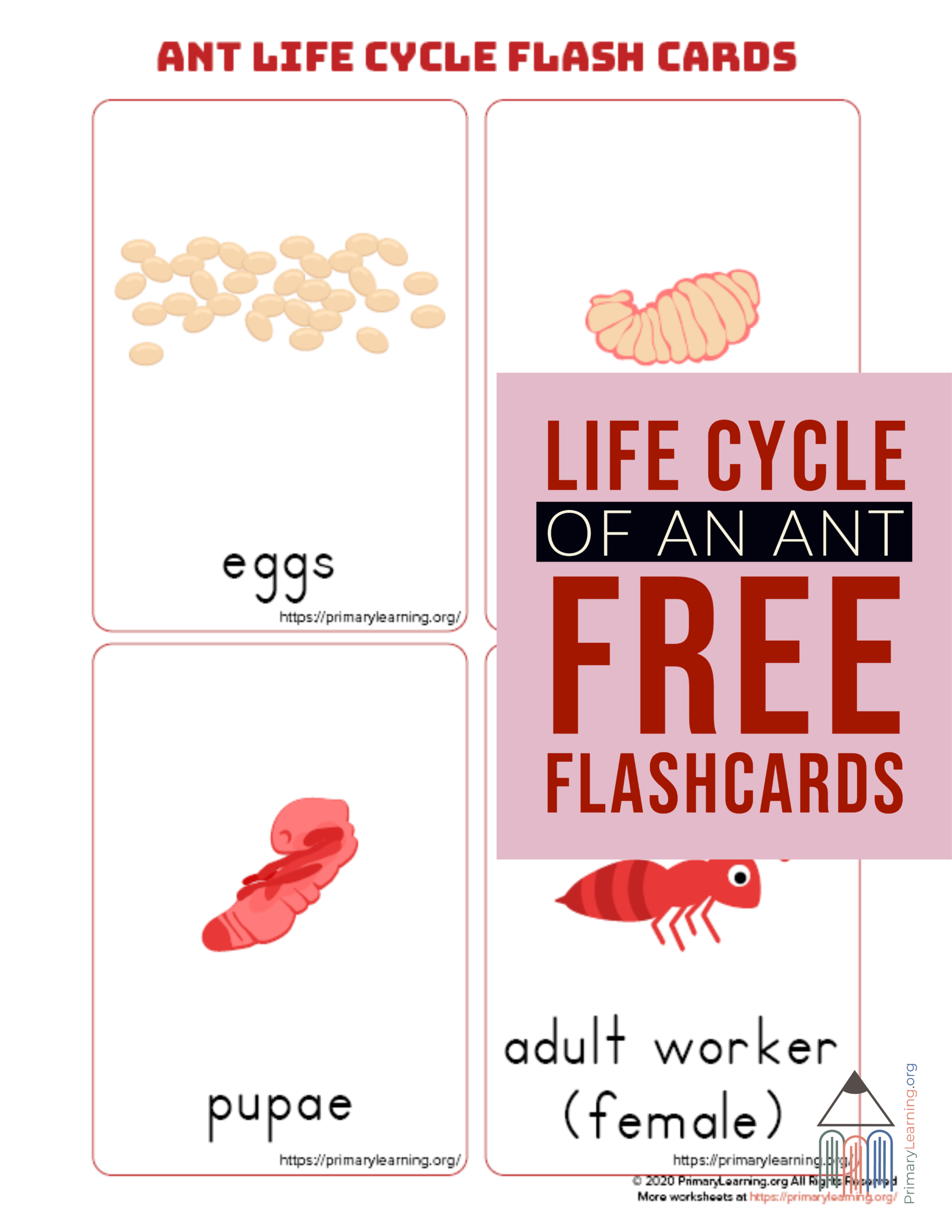 Ant Life Cycle Flashcards