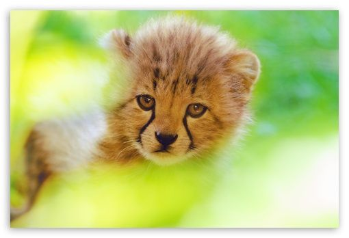 Cheetah Cub Face HD Desktop Wallpaper Widescreen High Definition Fullscreen Mobile Dual Monitor