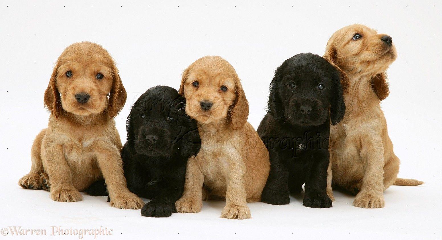 Cocker Spaniel Dogs 55 Free Hd Wallpaper Dog Screensavers