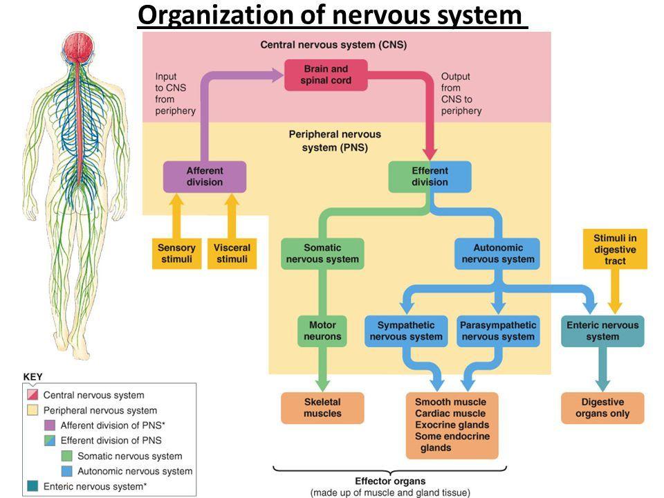 Organization of Nervous System Enteric nervous system