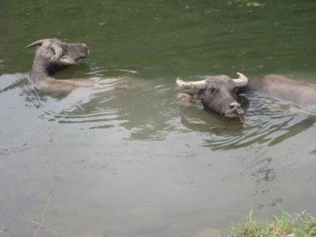 Water buffaloos?