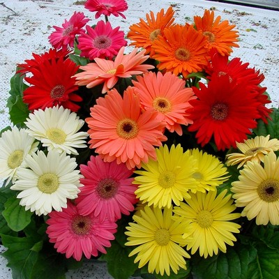 3pc Gerber Daisy Mega Revolution Mix Cottage Hill Gerbera Daisy Seeds