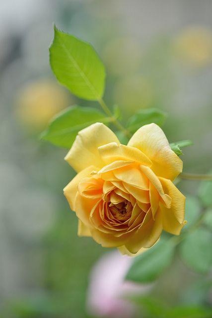 Rose Golden Celebration Beautiful Flowers Beautiful Roses Yellow Roses