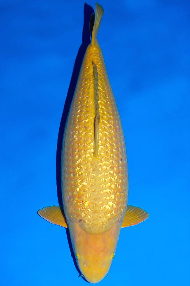 Kinginrin Chagoi Ikan