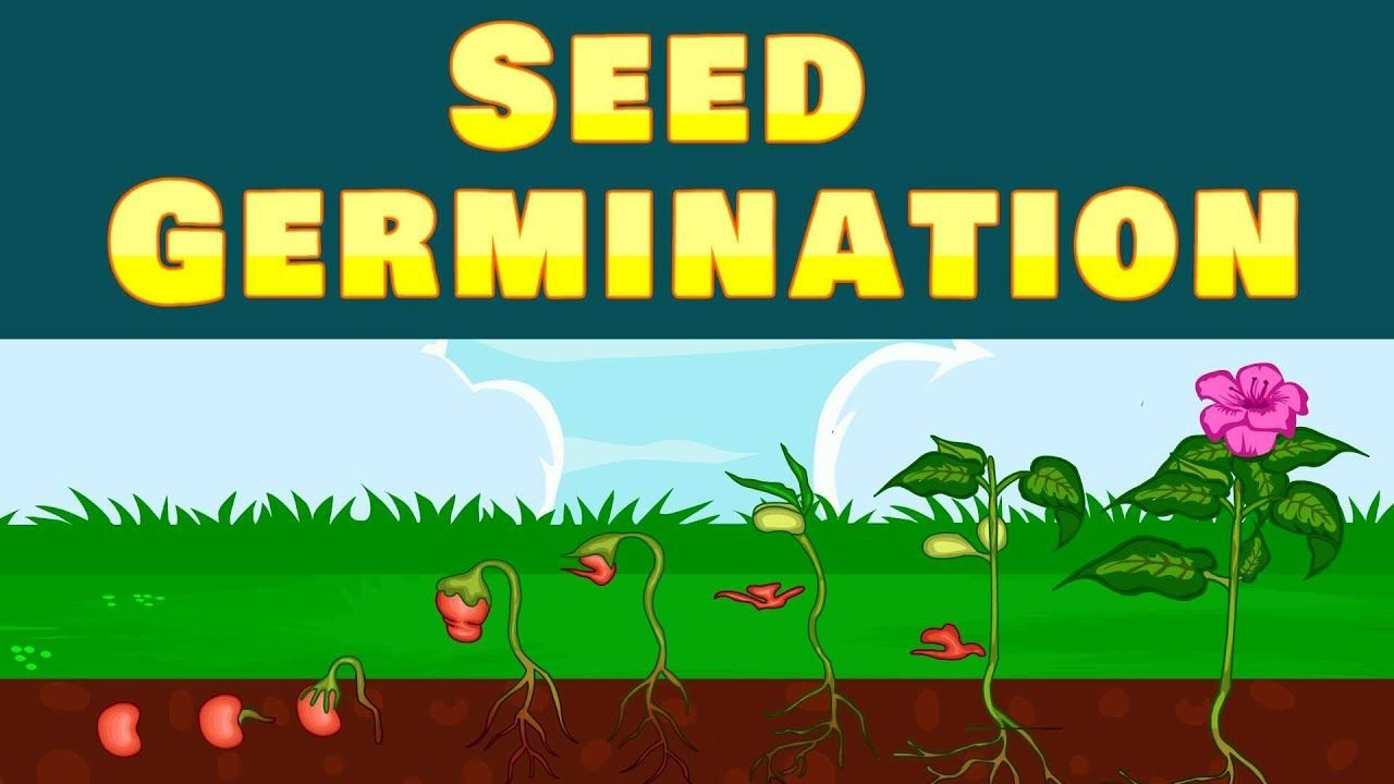 hight resolution of Seed Germination   Seed germination