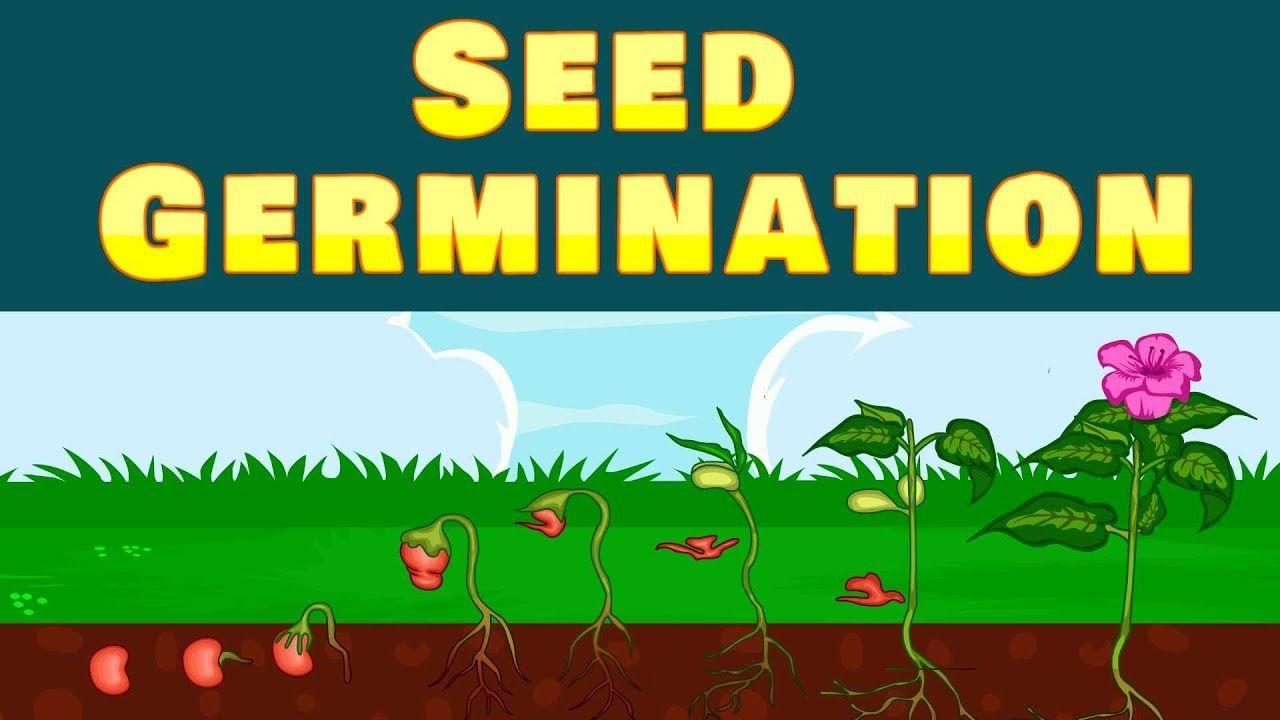Seed Germination   Seed germination [ 720 x 1280 Pixel ]