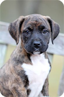 Natchitoches, LA Boxer/Mountain Cur Mix. Meet Tiger Lily