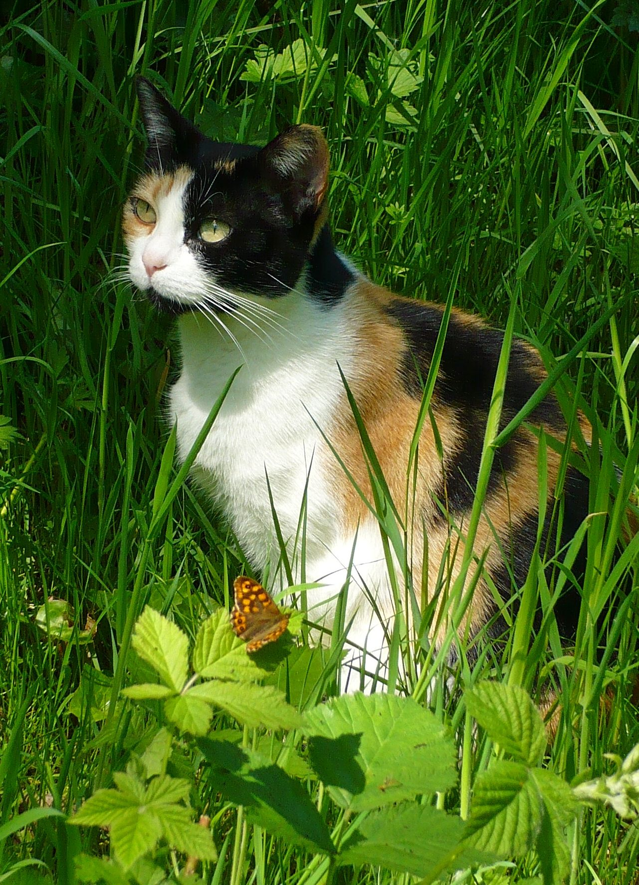 Google Image Result For Http Upload Wikimedia Org Wikipedia Commons A Ab Calico Cat Named Iris Zenera 04 Jpg Fancy Cats Russian Blue Cat Calico Cat