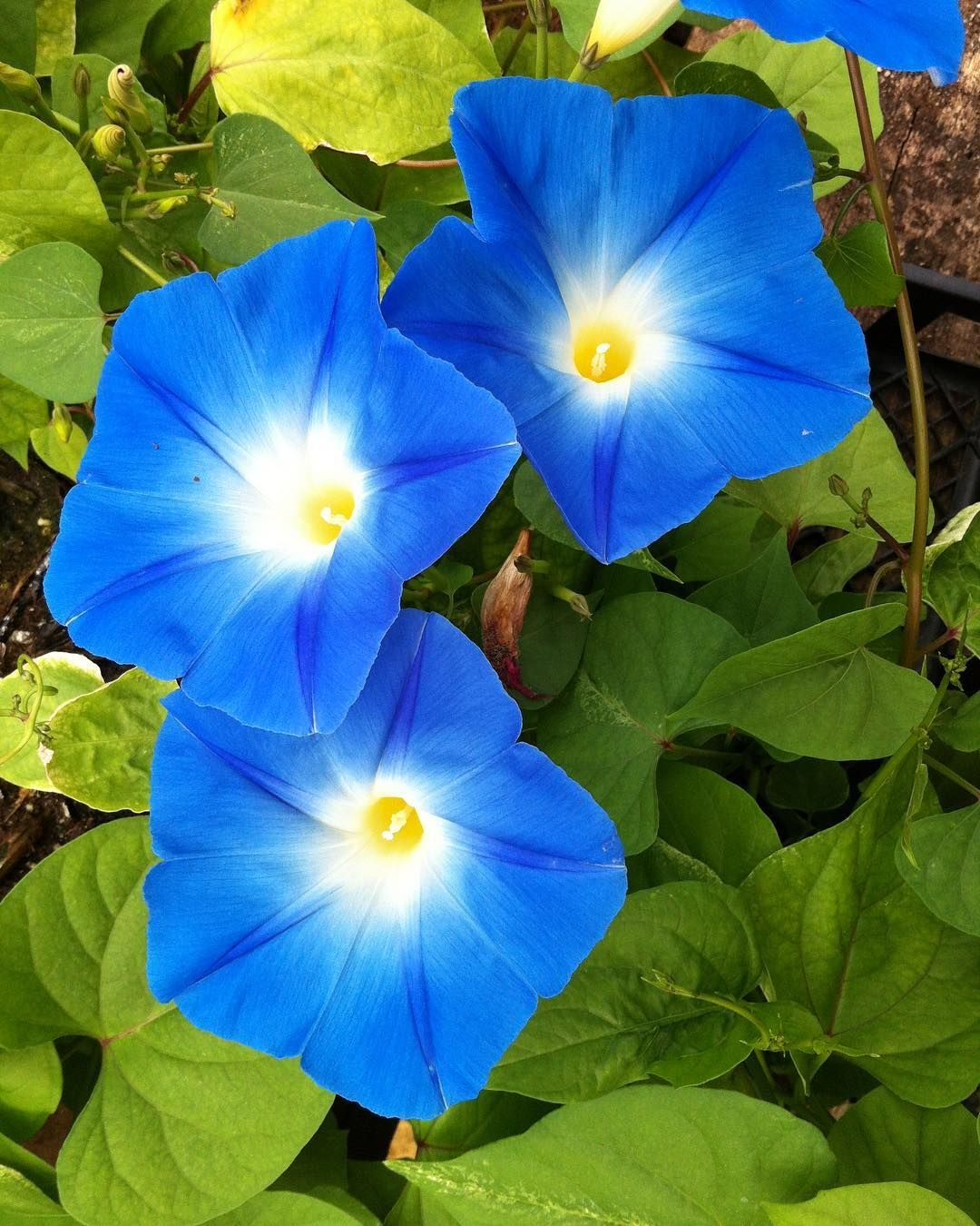 Graceful Gardens On Instagram What S The Story Morning Glory Pictured Heavenly Blue Morning Glory Flowers Garden Vines Blue Morning Glory