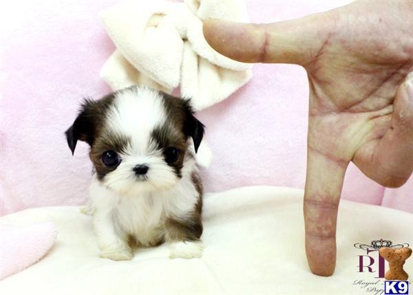 Teacup Shih Tzu | ... cute puppies for sale shih tzu ...