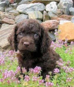 Wisconsin State Dog American Water Spaniel Canis Familiaris American Water Spaniel Spaniel Breeds Dog Breeds