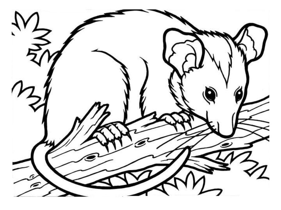 Opossums Ausmalbilder Ausmalbilder Opossums Animal Coloring