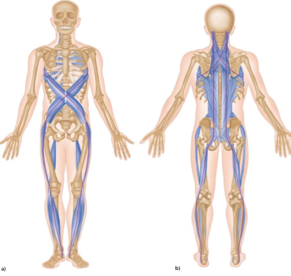 Our Fascia Is An Interconnected Layer Of Connective Tissue That
