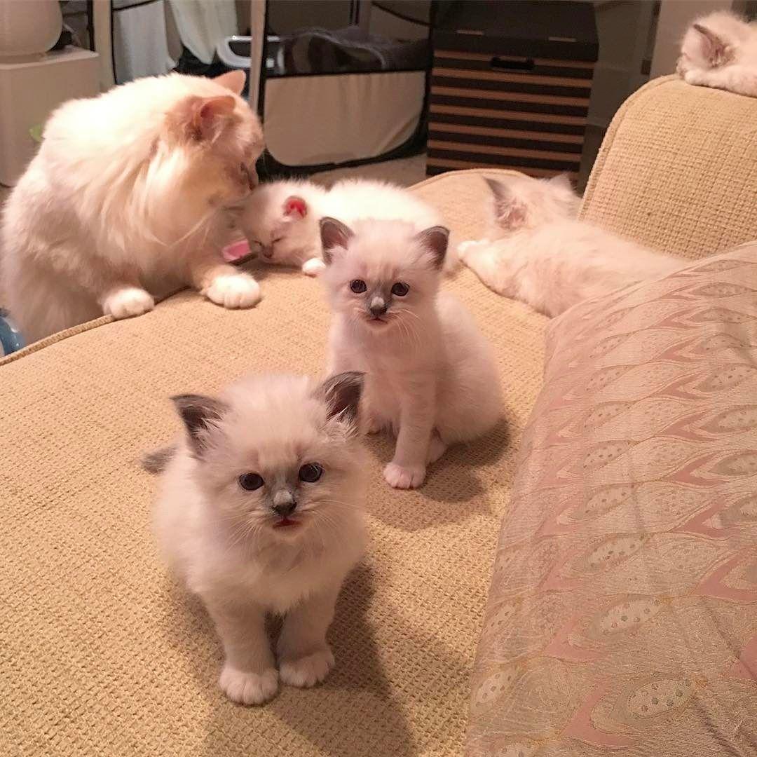 Popcorn Poppylove Is Babysitting Minimazarinerna2017 Birma Birman Breeder Catsofinstagram Chokladochvanilj Kitten Pinka Cool Cats Birman Cat Cat Club