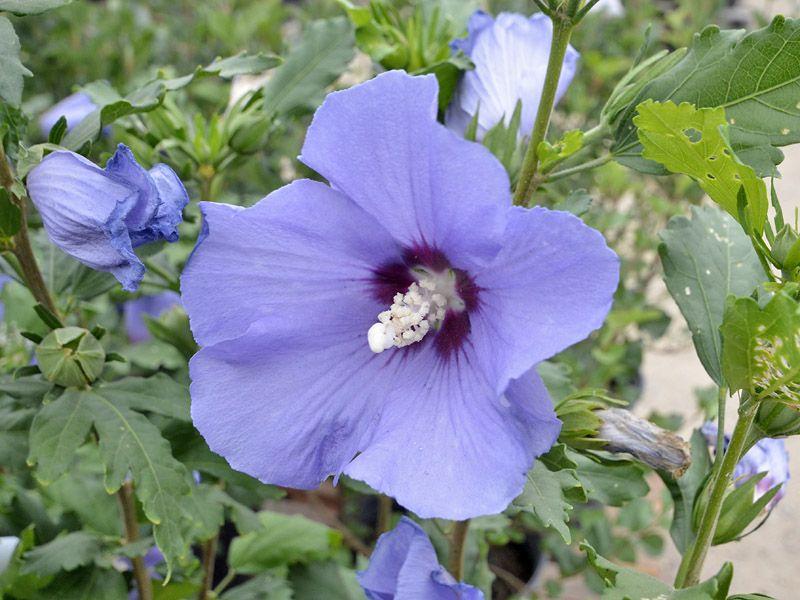 Hibiscus Syriacus Minerva Shrubby Hibiscus Rose Of Sharon