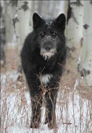 irish wolfhound wolf mix informed article on wolfdogs irish