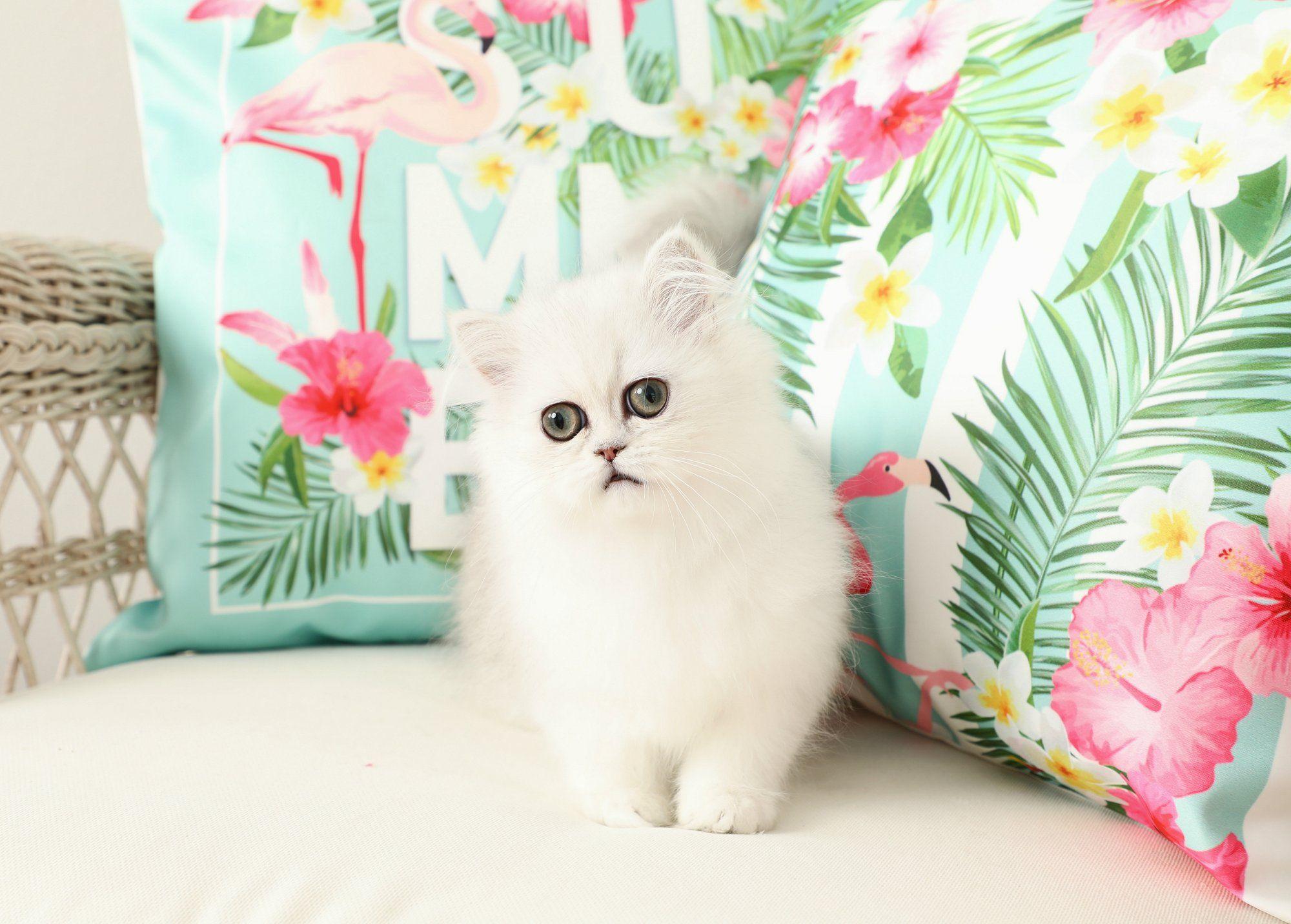 Aubrey - Silver Chinchilla Doll Face Persian Kitten For Sale