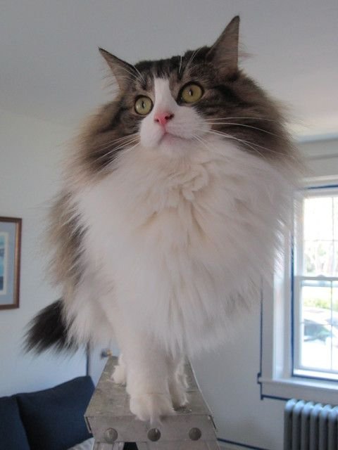 A fabulous Norwegian Forest Cat