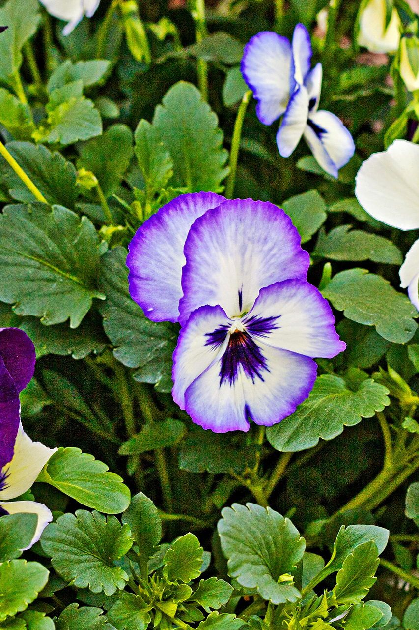 16 Flowering Perennials That Will Add Color To Your Garden From Spring To Fall Pansies Flowers Perennials Pansies
