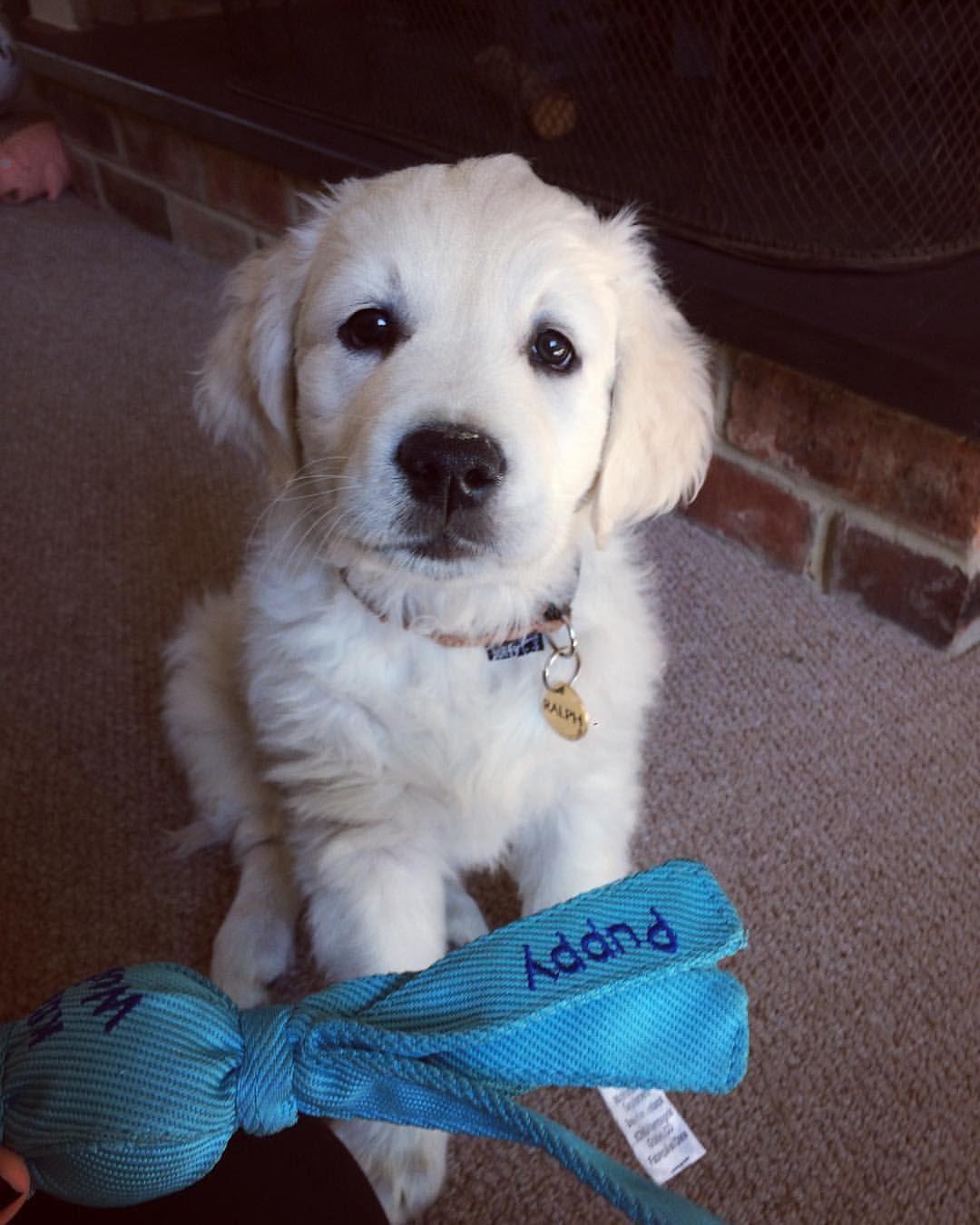 8 Week Old Golden Retriever Puppy Ralph Old Golden Retriever