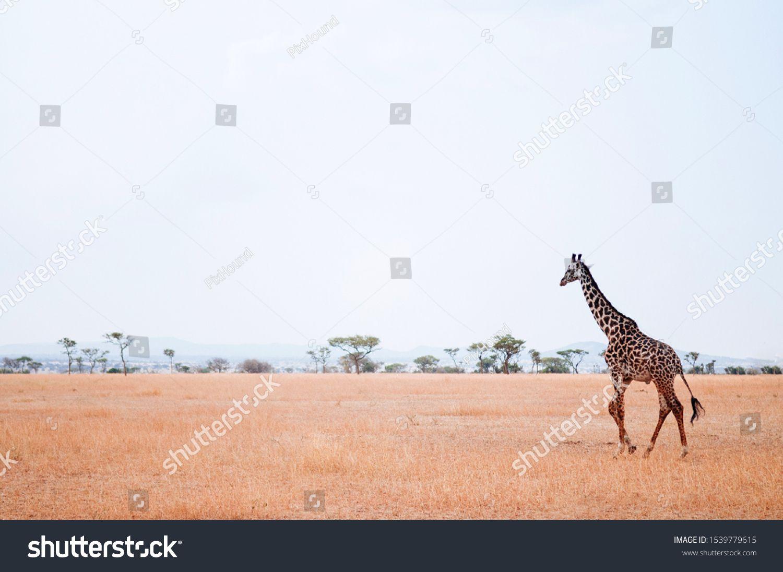 Giraffe walking in golden grass field of Serengeti Grumeti reserve Savanna forest - African Tanzania Safari wildlife trip during great migration #Ad , #AFFILIATE, #Serengeti#field#reserve#Grumeti