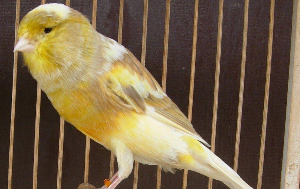 Download Gambar Burung Kenari Yokser Di Zaman Yang Lebih Canggih Ini Buat Ponsel Android Telah Semakin Melus Serta Mangsa Pasarnya Ialah Anak Kec Bird Animals