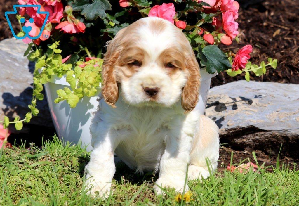 Hope Cocker Spaniel Puppy For Sale Keystone Puppies Spaniel