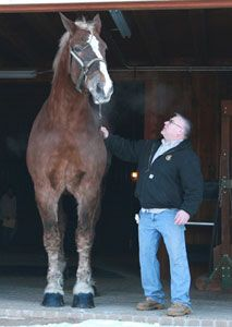 """Big Jake - the world's biggest horse. 9 yr old Belgain (draft horse) gelding. 6'11"""" from hooves to withers."""