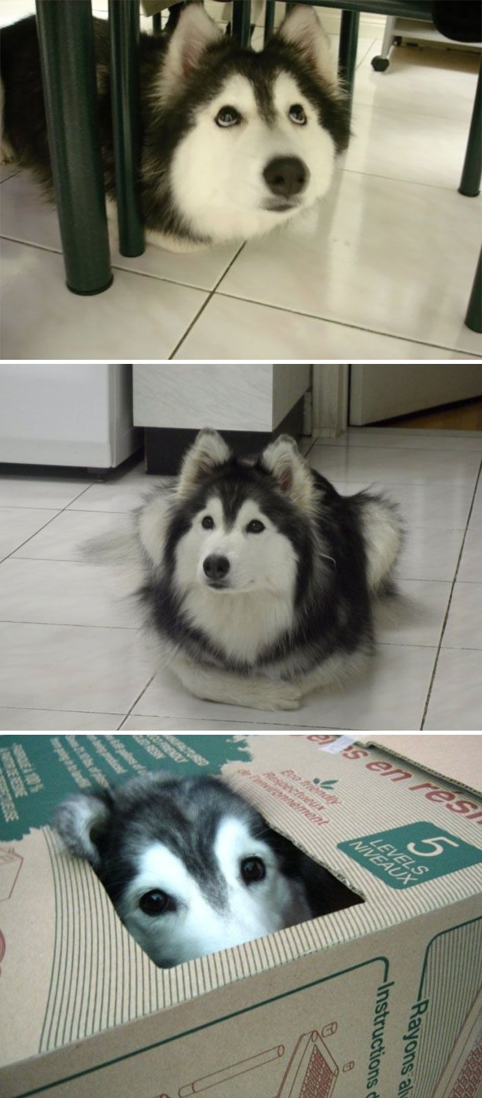 Hello Sunshine Husky Raised By Cats Cute Dog Pictures Like A Cat