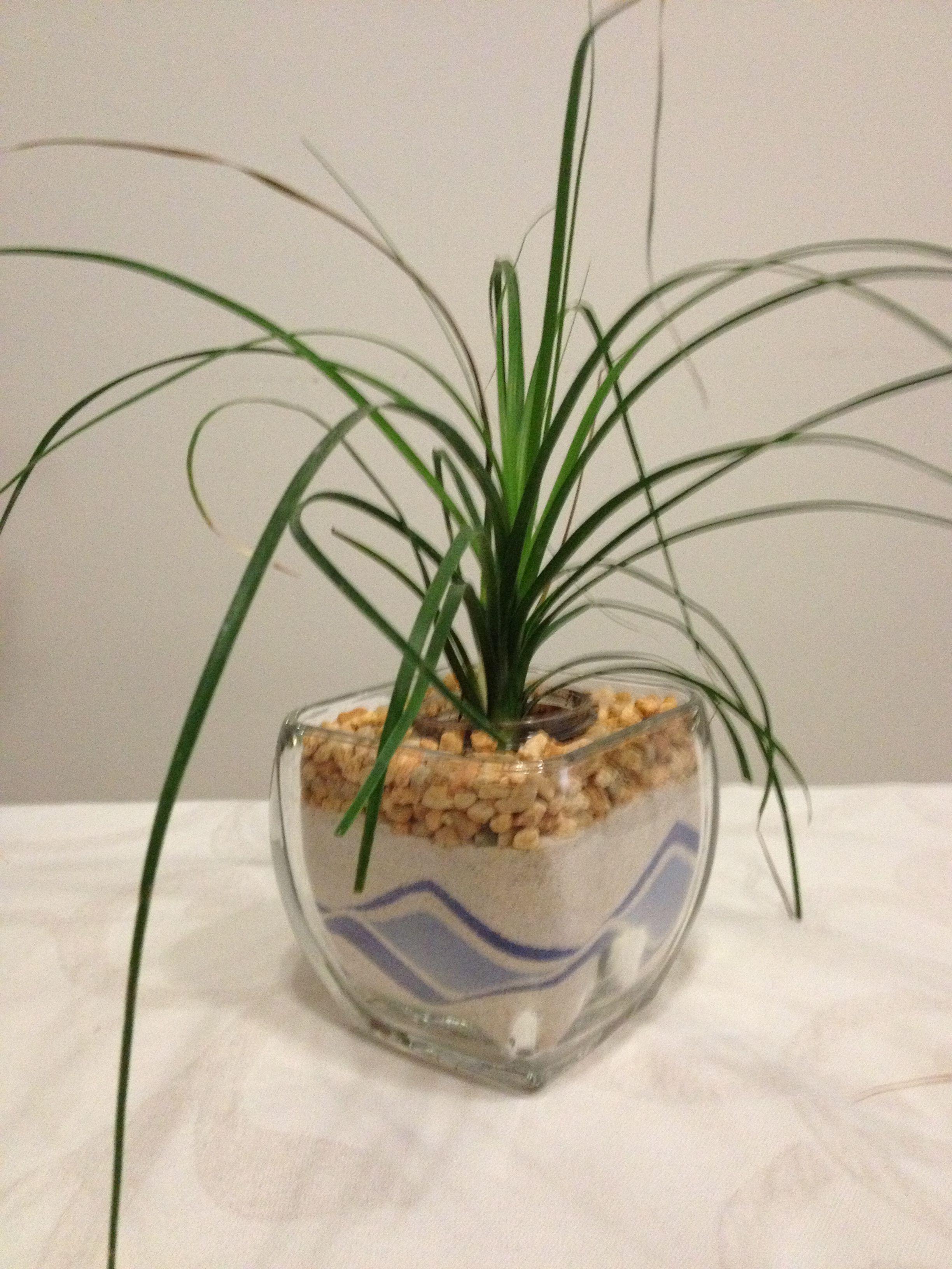 Pata de elefante planta de interiores f cil de cuidar green plantas de interior - Plantas interiores ...
