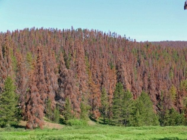 Pine beetles are thankful for climate change, since it's made the winters warmer and they therefore don't freeze to death, and are free to destroy six billion trees.