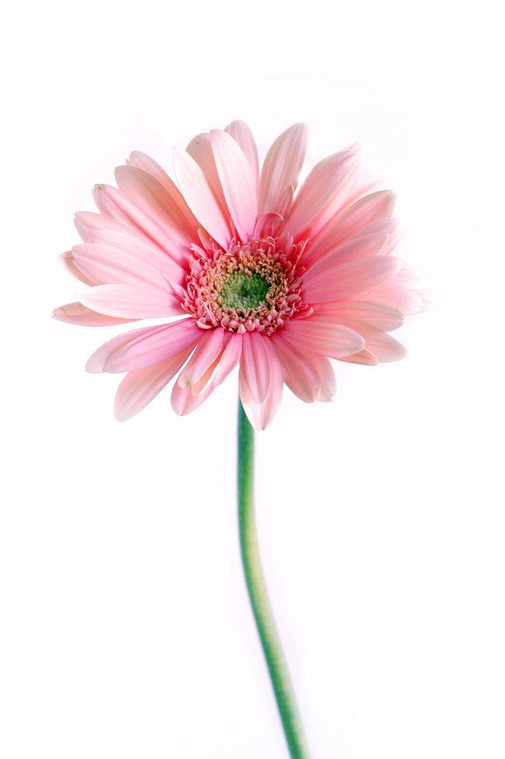 Gerbera Stock By Proseuche On Deviantart Gerbera Flowers Nature Birth Flower Tattoos