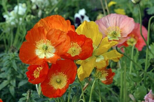 Native iceland poppies