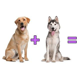 Dog Math At Its Finest Add Two Of Your Favorite Breeds Together To Make An Even Better One But Nothing Goes Together Bett Hybrid Dogs Labrador Retriever Dogs
