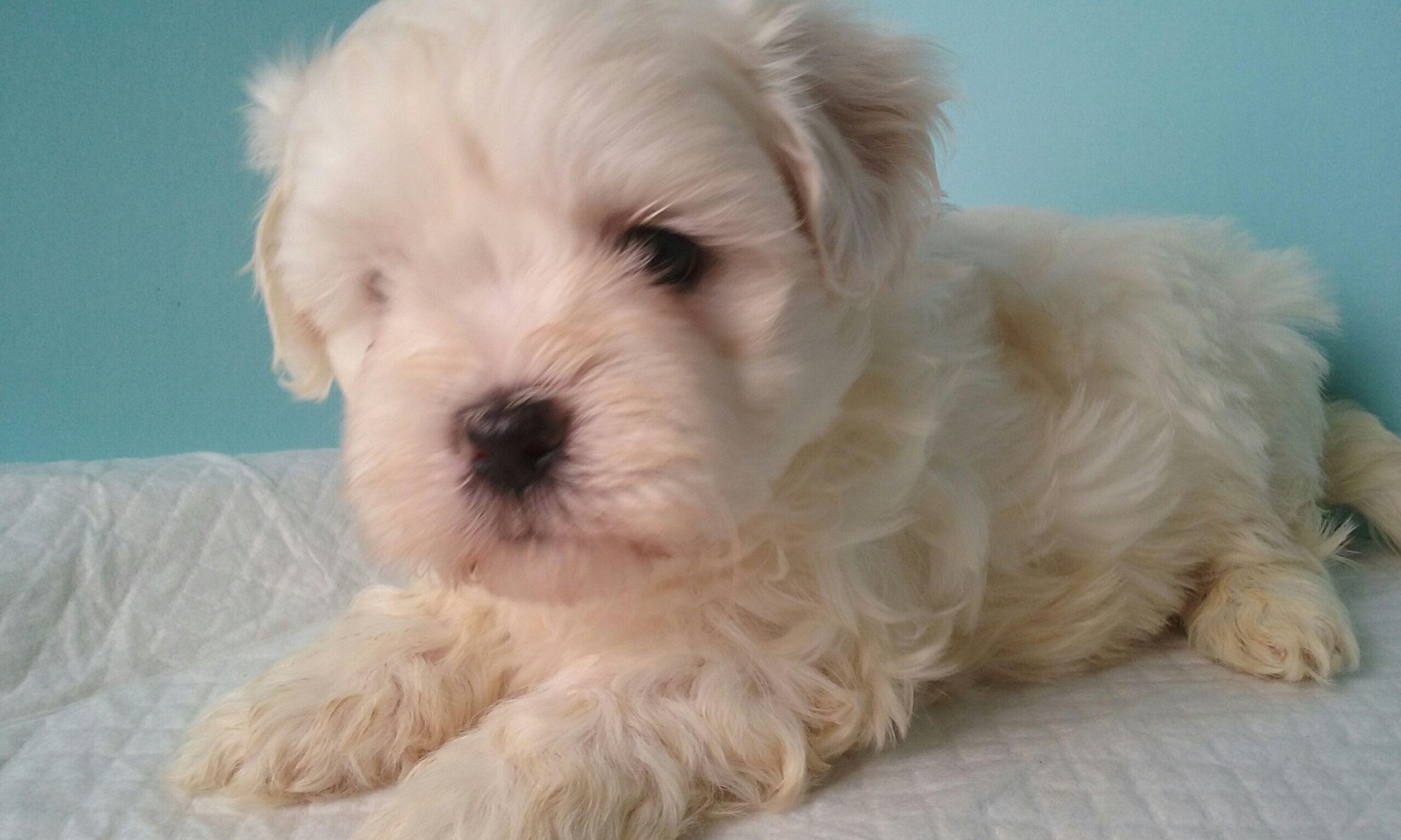 Little male Malshi puppy, 5 weeks old!