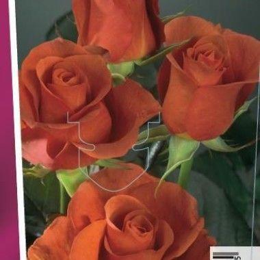 Rosier Terracotta® 'Simchoca' (grandes fleurs)