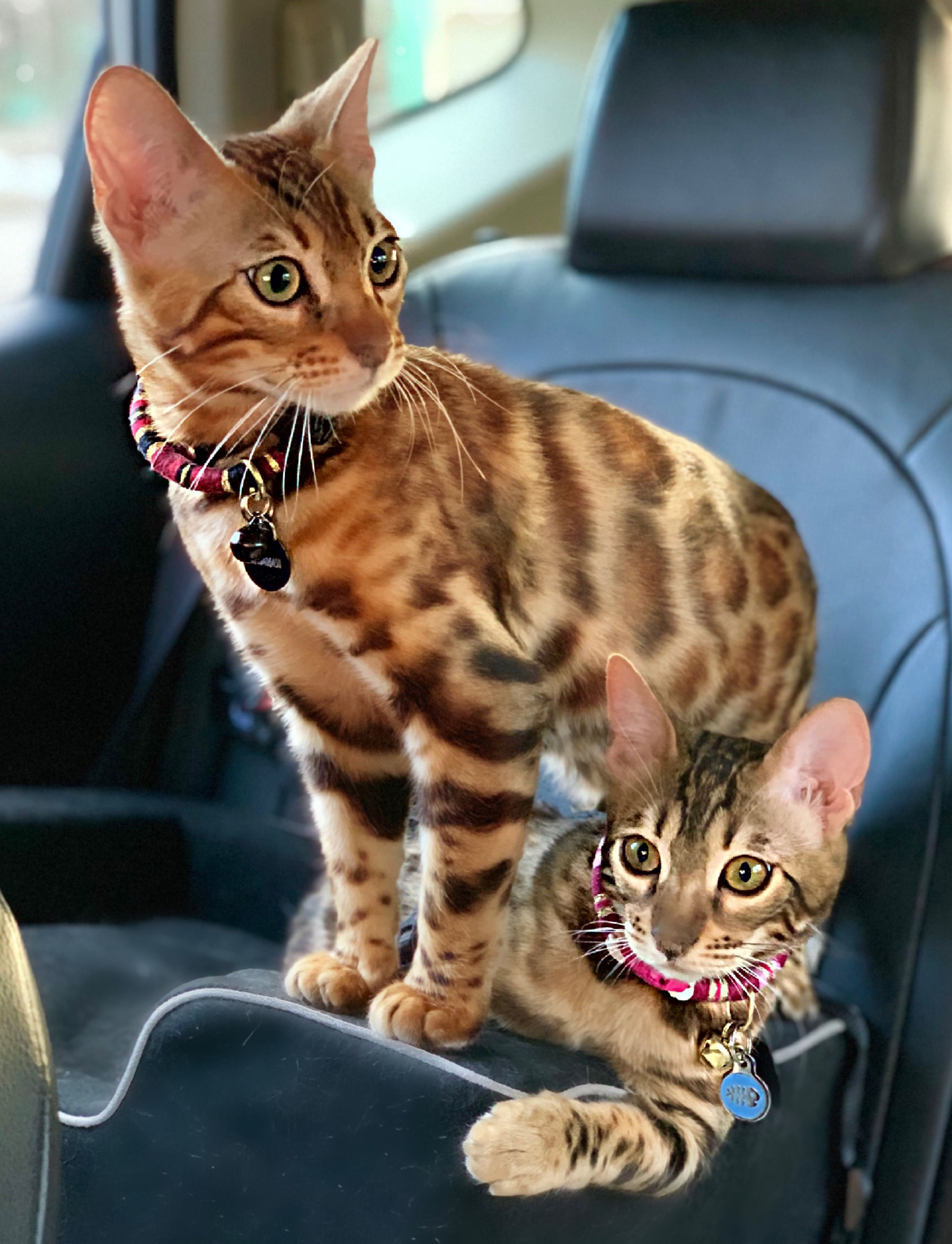 Bengal Kittens Cheddar Keeps Tink Safe In The Car Bengal Cat Bengal Kitten Domestic Cat