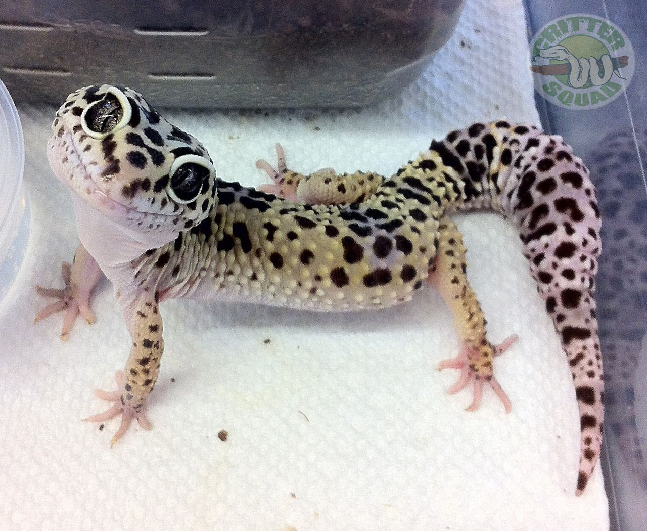 I have 4 leopard geckos. They are unique in their own ways. They are ...