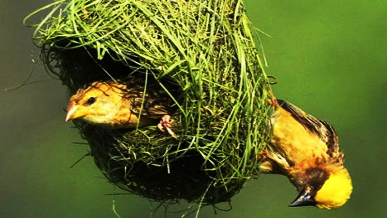 Wild discovery Channel Animals Nest of Bird Discovery