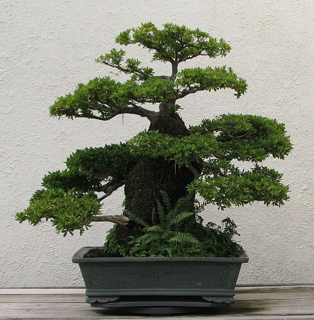 List Of Species Used In Bonsai Wikipedia The Free Encyclopedia Bonsai Tree Bonsai Art Japanese Bonsai