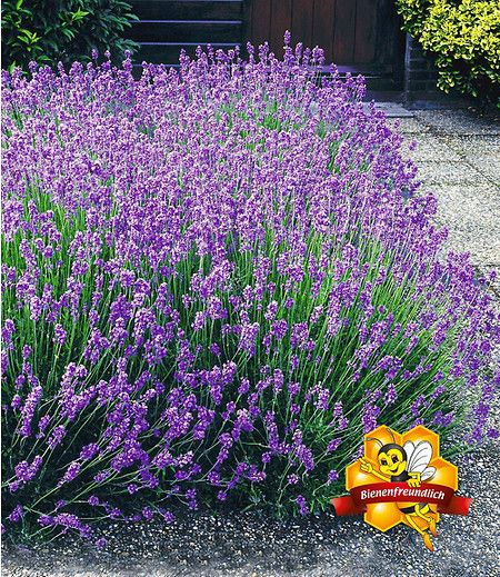 Lavendel-Hecke \