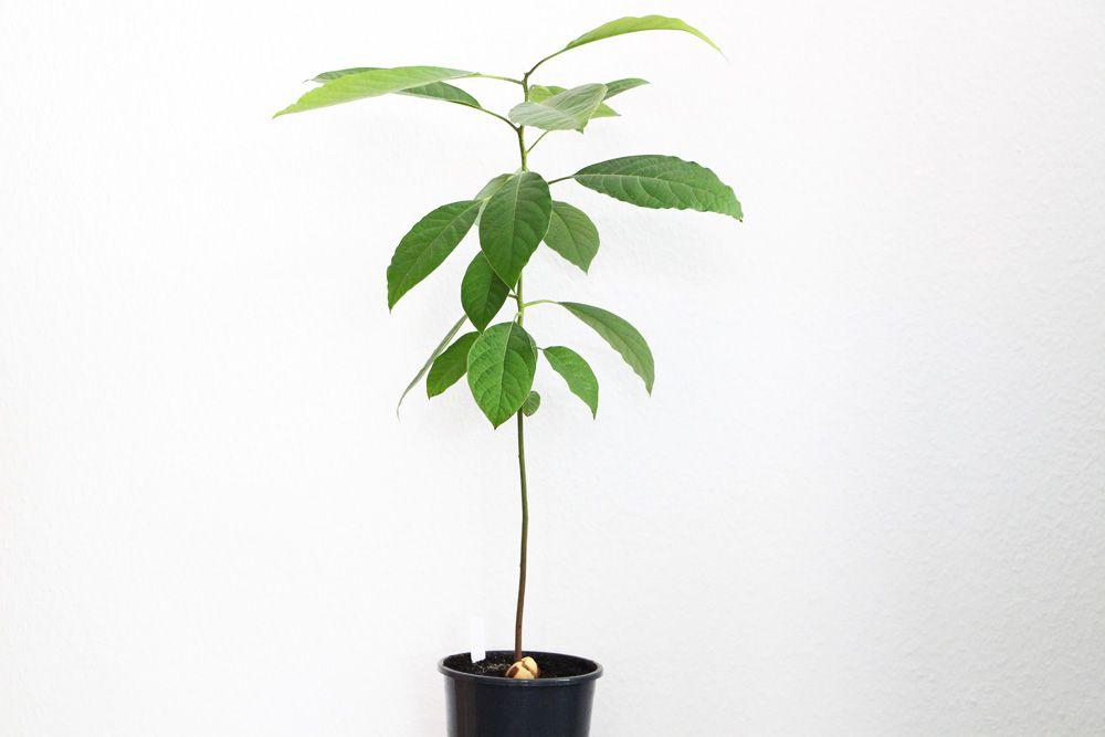 Avocado-Pflanze selbst züchten: pflegen, schneiden und überwintern