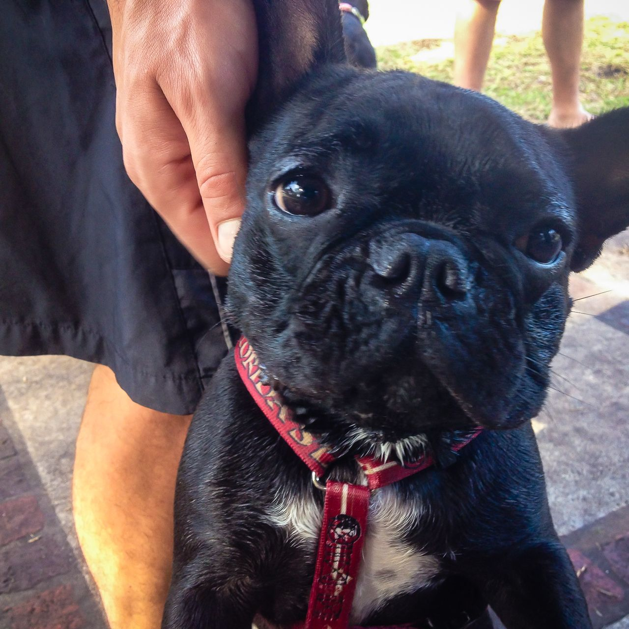 a cute frenchie grizzy met at a local french bulldog meetup