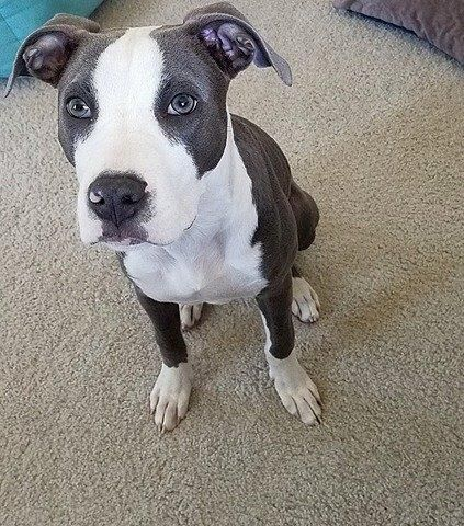 Adopt Kirby On Pitbull Terrier Pets Terrier Mix Dogs