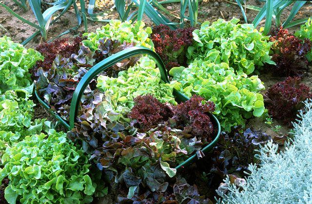 Des salades toute l'année c'est possible quand on est jardinier bien informé... par Rustica.