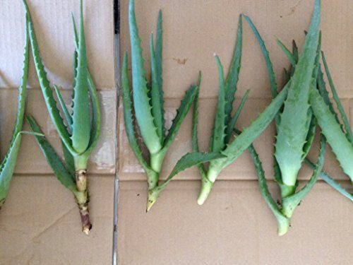 How To Propagate Aloe Vera By Division Gardening